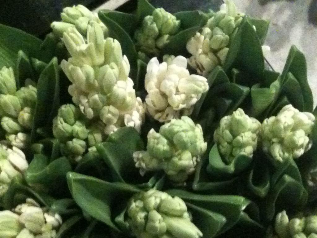 Hvide Hyacinther