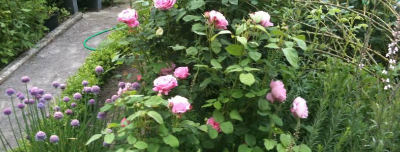 Lyserød rose i rosenhaven