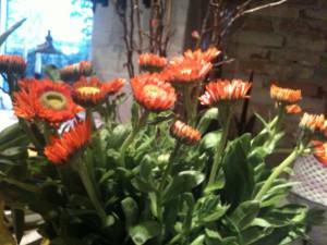 Orange morgenfruer