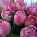 Pink Tulipaner