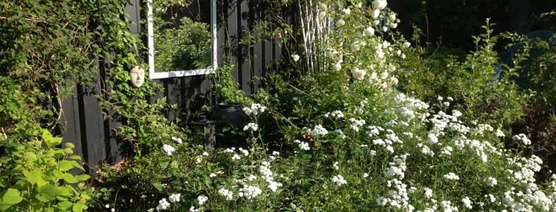Hvid slyngrose